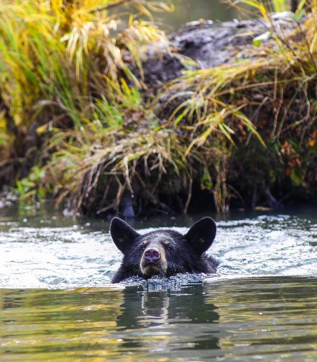 Black bear conservation